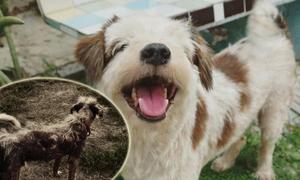 Quá trình lột xác của chú chó trụi lông bị bỏ rơi ở Thái