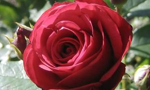 Đố vui: Con vật nào xuất hiện trong bông hoa hồng?