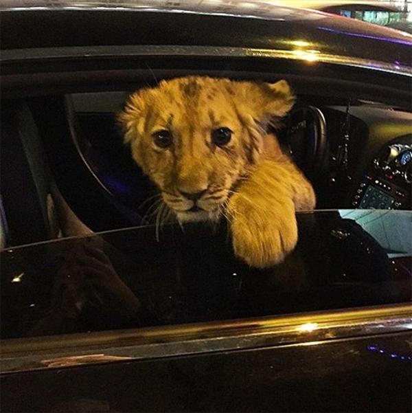 Nhiều công tử ở Nga còn bắt chước sở thích của các đại gia ở Dubai khi... mang sư tử trong xe