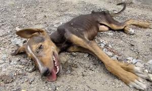 Chú chó sắp chết đói vẫn cố vẫy đuôi khi được cứu