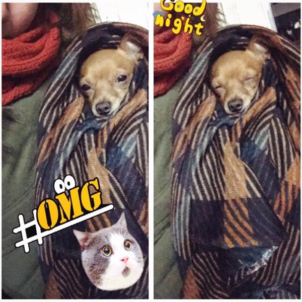 Nhờ có chiếc khăn choàng được cô chủ tặng, chú chó Chihuahua này