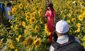 Vườn hướng dương Đà Nẵng mở cửa miễn phí vì hoa nở sớm