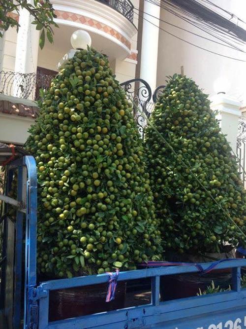 Những cây quất như trên thường không được bán phổ biến mà nhận đặt và nuôi dưỡng theo ý kiến