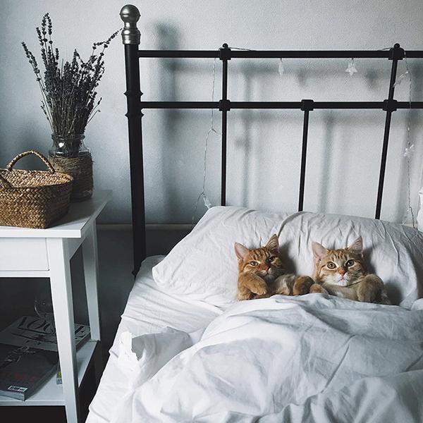Cặp mèo cưng rất thích được chui vào chiếc chăn êm của chủ và
