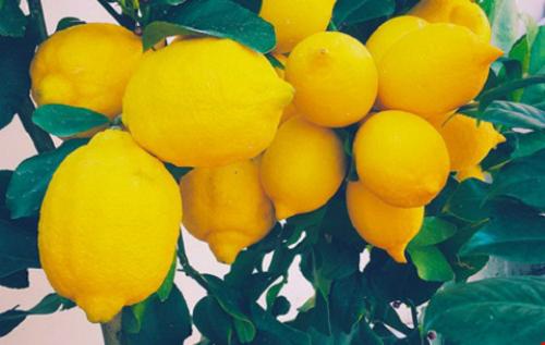 Hàm lượng cao vitamin C và axit ascorbic trong chanh sẽ giúp kích thích bàng quang và thận, gia tăng lượng nước tiểu bài tiết ra ngoài cơ thể