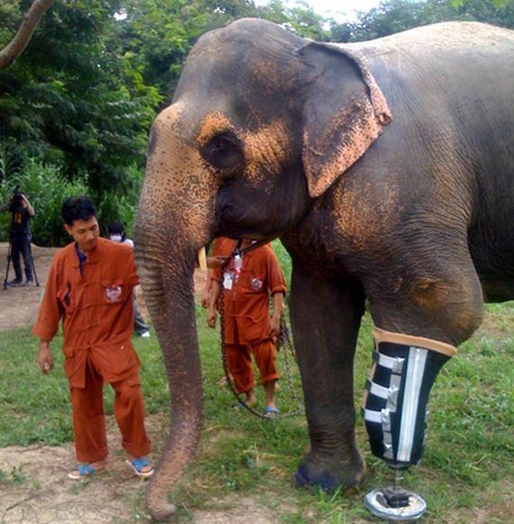 Chú voi ở Thái Lan được lắp chân giả thay thế cho cái chân đã mất do dẫm phải   bom mìn.