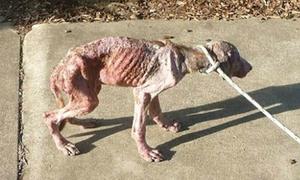 Bị bỏ đói đến mức hết thuốc chữa, chú chó được tiêm để chết nhẹ nhàng