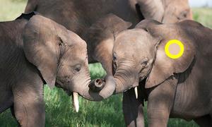 Trổ tài chọn màu đúng chuẩn theo vùng trên thân voi