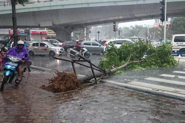 Hàng cây trên các tuyến phố nghiêng ngả, một số mới trồng bị bật gốc. Phố Kim Mã,   Hà Nội, một số cây mới trồng dù được chống đỡ vẫn bật đổ. Ảnh: Thanh Tùng.