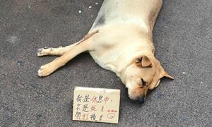 'Chó ngủ, chưa chết' - tấm biển hài hước về chú chó mê ngủ