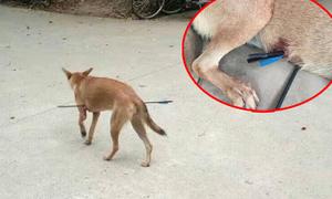 Chú chó lang thang bị bắn tên xuyên bụng