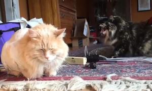 Mèo cạo lông bị 'bạn cùng phòng' hắt hủi