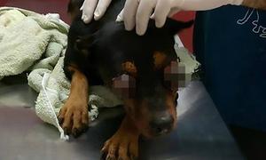 Chú chó không sống nổi sau khi bị móc mắt dã man
