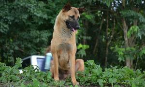 Chó đợi chủ bên đường hơn một năm, bị ô tô đâm chết