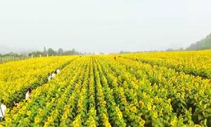Clip flycam tuyệt đẹp cánh đồng hoa hướng dương ở Nghệ An