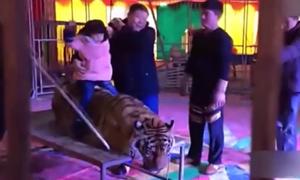 Hổ nằm cam chịu khi bị trói cho du khách ngồi lên chụp ảnh