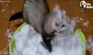 Chú chồn 'bấn loạn' khi lần đầu được thấy tuyết