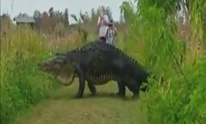 Cá sấu 'to như khủng long' thản nhiên băng qua đường