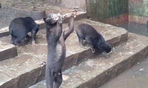 Gấu chó gầy trơ xương chắp tay xin đồ ăn