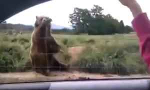 Gấu nâu đáng yêu vẫy tay chào tạm biệt du khách