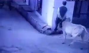 Con bò lạnh lùng húc ngã người đàn ông rồi bỏ đi như không