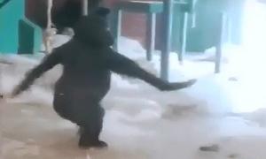 Khỉ đột hưng phấn khiêu vũ
