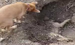 Chó xúc đất chôn xác anh bị xe đâm chết