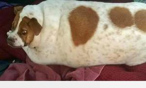 Chó béo tròn không thể quay đầu hay đi lại, chỉ có thể lăn