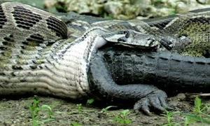 Trăn nước khổng lồ 'nuốt chửng' con cá sấu