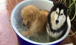 Phản ứng trái ngược của 2 chú chó khi tắm chậu