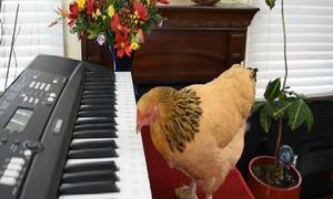 Tròn mắt xem chú gà chơi piano điêu luyện