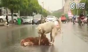 Chú chó nỗ lực lay gọi bạn bị xe đâm giữa đường
