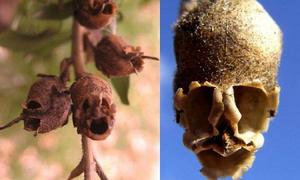 Kỳ lạ loài hoa biến thành đầu lâu 'ghê rợn' khi khô héo