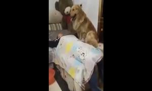 Chú chó ân cần chăm chủ say rượu