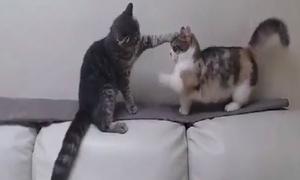Chú mèo chân ngắn bị bạn bắt nạt hút 8 triệu lượt xem