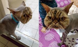 Mèo Ba Tư thành 'đầu gấu' vì thợ cắt tỉa quá đà