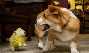 Những chú chó 'mong manh dễ vỡ' nhất quả đất