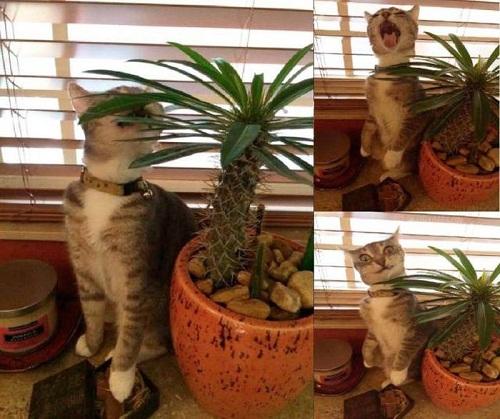 Biểu cảm khó đỡ của mèo khi hắt xì.