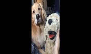 Chú chó 'nổi sùng' vì ghen tỵ khi cô chủ nựng chó bông