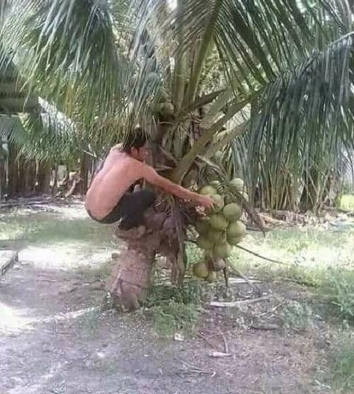 Dừa này leo mệt ghê.
