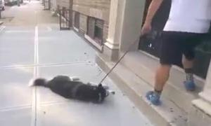 Chó Husky nằm ăn vạ vì đang đi chơi dở bị kéo về nhà