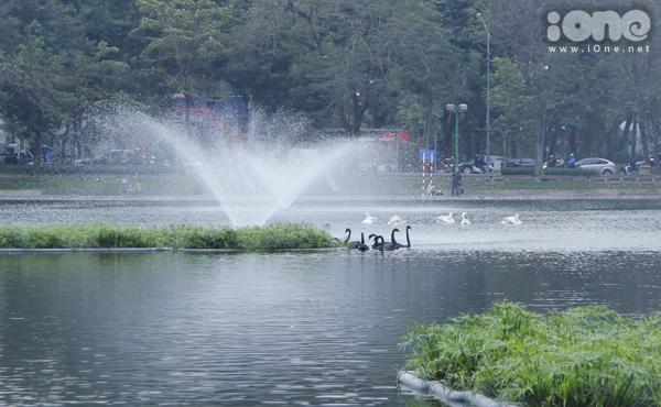 Việc thả thiên nga ở hồ chỉ để làm đẹp cảnh quan chứ không ảnh hưởng đến môi trường sinh thái.