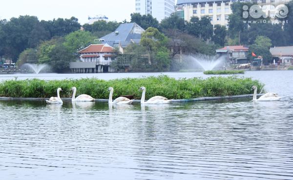 Những con thiên nga thường chia thành đàn đen và trắng bơi riêng, chủ yếu tụ tập quanh đám cây thủy canh.