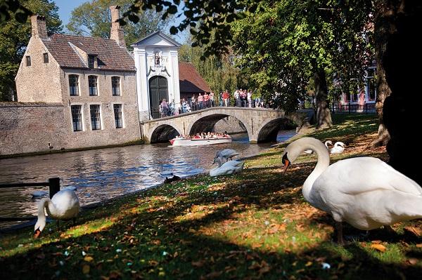 Thiên nga được nuôi thả tự do tại Bruges (Bỉ).