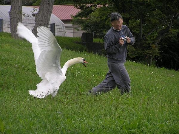 Cảnh một con thiên nga tấn công một du khách tò mò nhằm bảo vệ tổ.