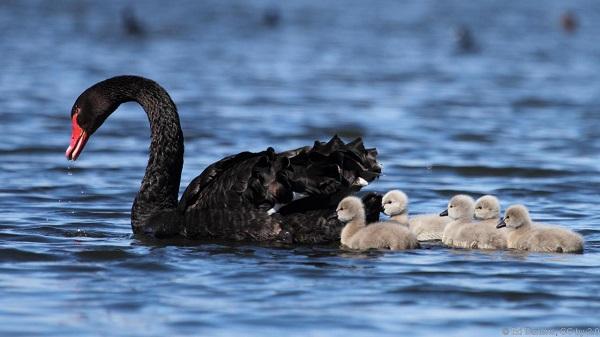 Hình ảnh loài thiên nga đen ngoài tự nhiên.