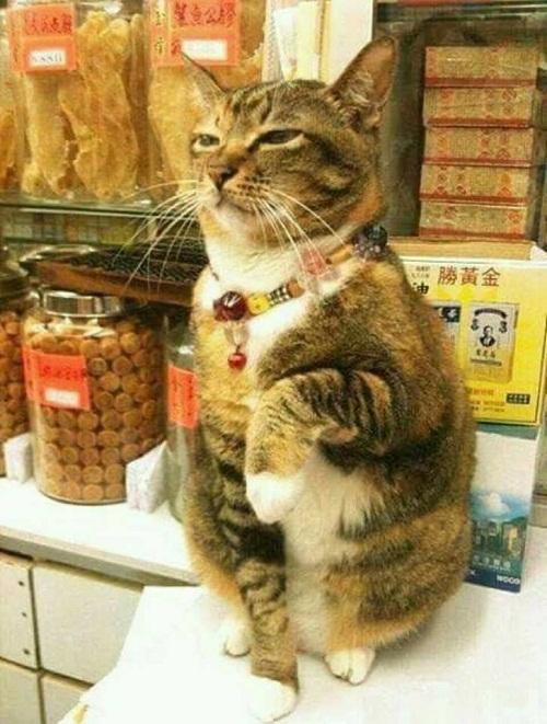 Mèo xua tài.