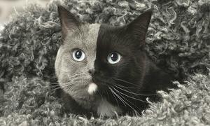 Chú mèo 'hai mặt' nổi tiếng khắp mạng xã hội