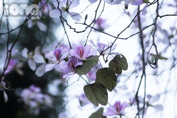 Hà Nội lãng mạn trong mùa hoa ban tím đầu xuân - 1