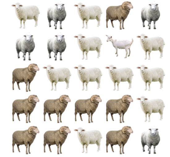 30 giây bạn có tìm ra điểm khác biệt giữa bầy cừu - 1